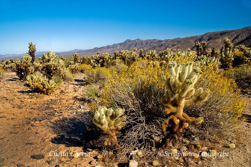 _DSC3872Cholla Cactus Garden.jpg