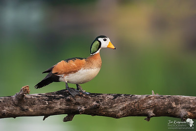 Perched African Pygmy-goose