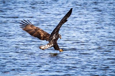 Adolescent bald eagle fishing....