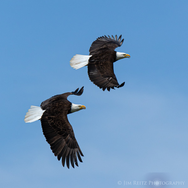 Bald Eagles along the Hood Canal near Seabeck, Washington