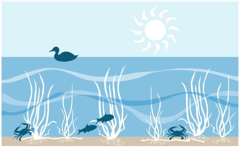 seagrass diagram by Jane Hawkey.png