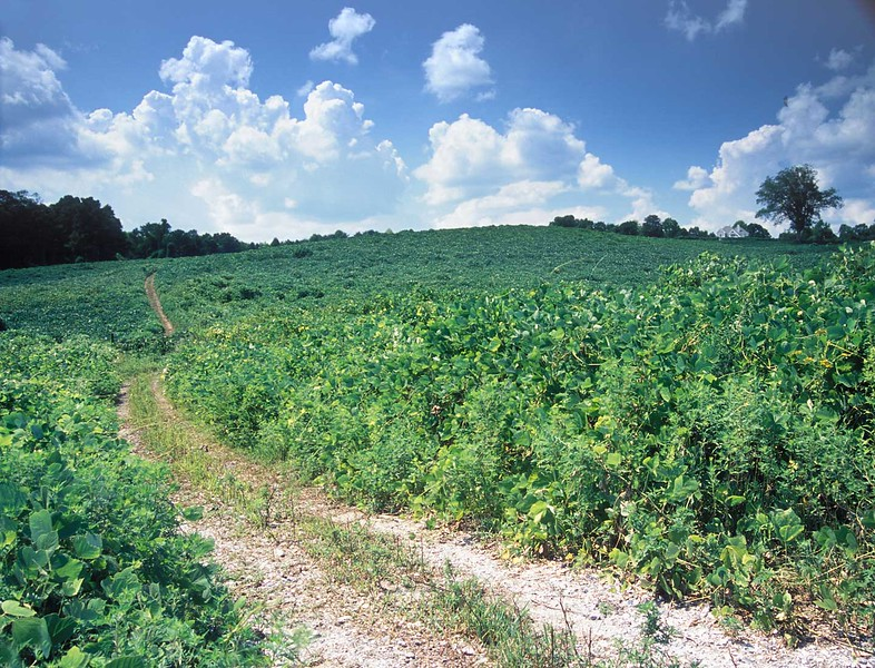 Very large field covered in kudzu on Hwy 9 south of Dawsonville, Ga.