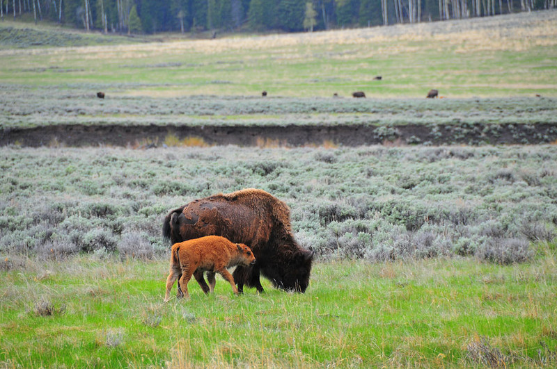 Mother Bison with Calf.jpg