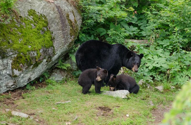 Black Bear in Yard-56-24.jpg