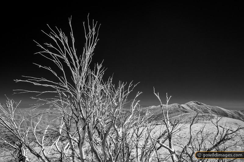 Snowless Gums