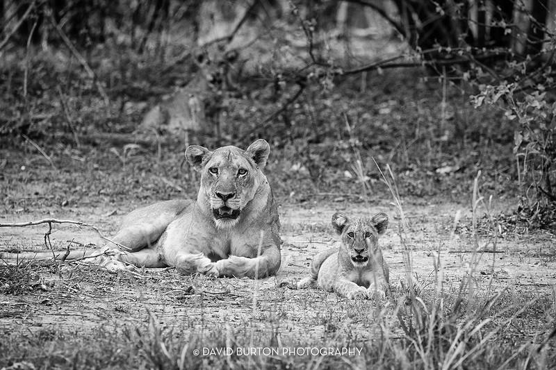 Bili_Lion-n-cubs_9079cc2fx-blknwht-web.jpg
