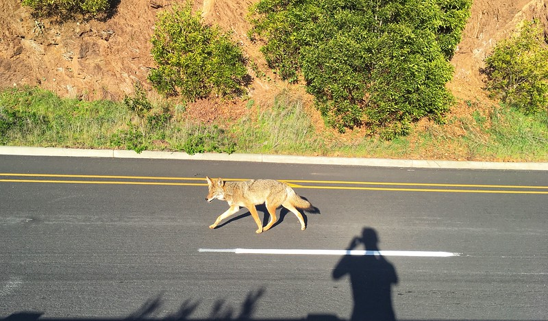 Coyote in Marin Headlands