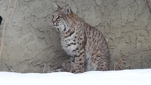 1-15-18 Video P900 - Bobcat