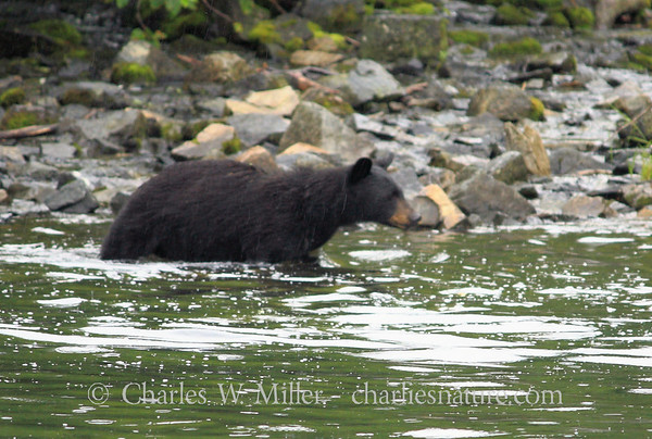 Alaskan Black Bears