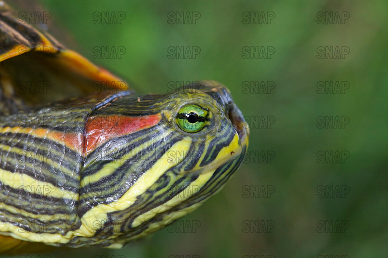 Disfigured Red-eared Turtle (Trachemys scripta elegans)