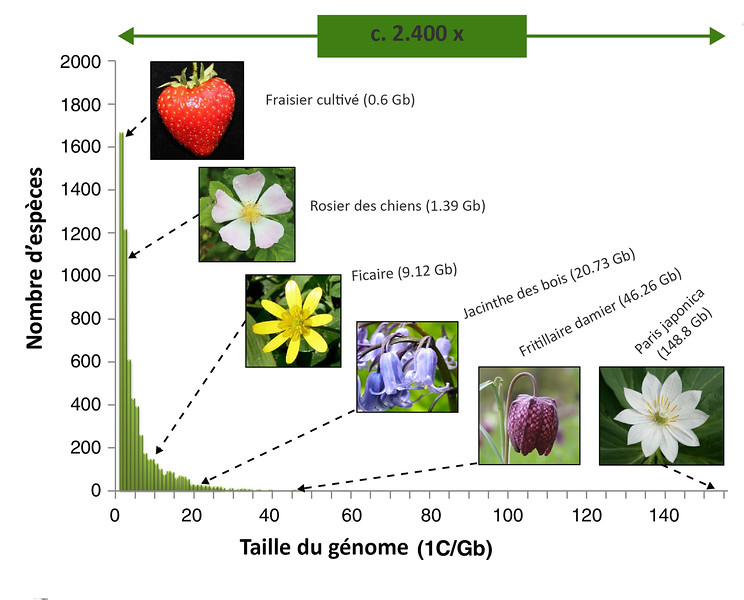 Adapté d'après Steven Dodsworth et al. ; Genome size diversity in angiosperms and its influence on gene space ; Current Opinion in Genetics & Development ; Volume 35, décembre 2015  (Creative Commons CC-BY)
