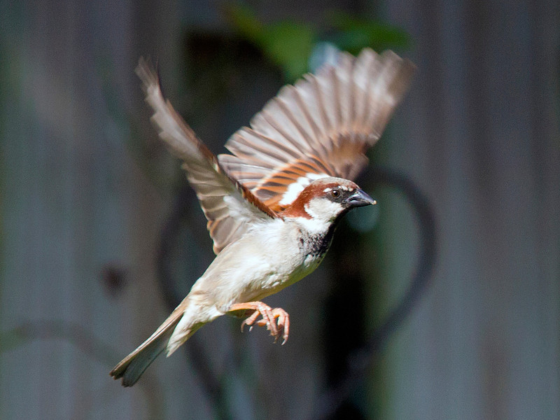 sparrowinflight5.jpg