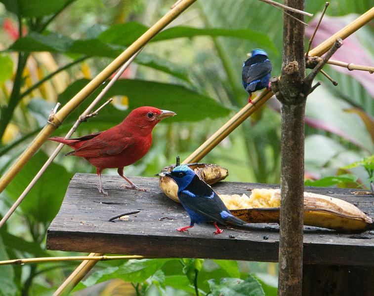 Summer Tanager♂︎ (Piranga rubra) and 2 Red-legged Honeycreepers ♂︎(Cyanerpes cyaneus)