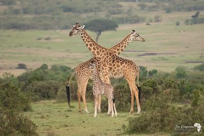 Masai Giraffe Family