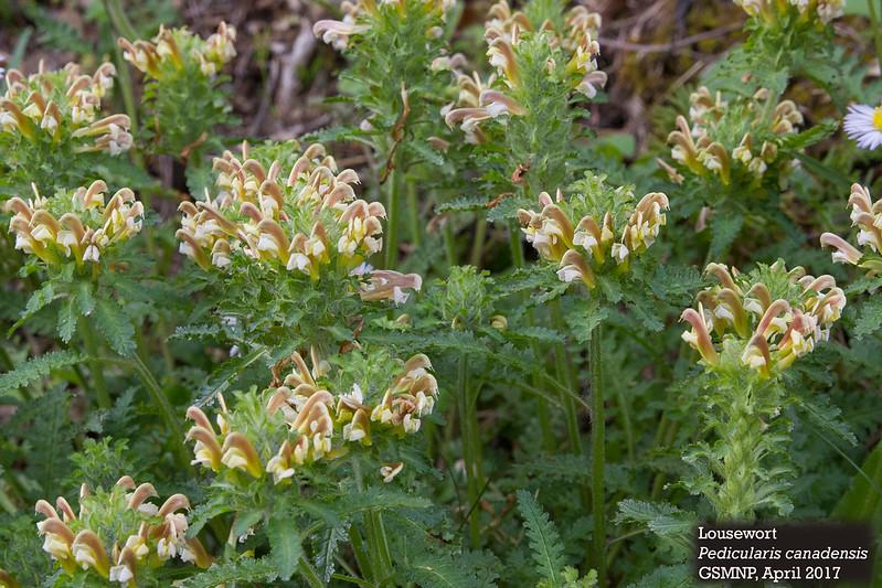 Pedicularis_canadensis_2.jpg