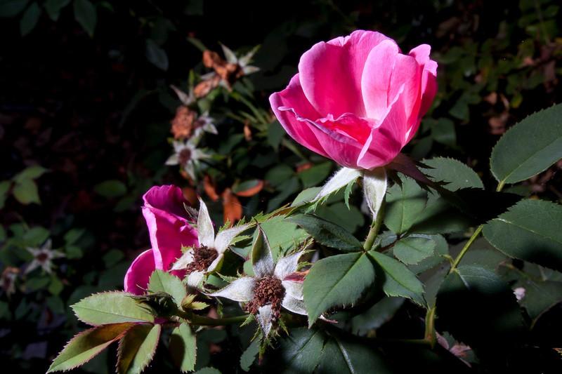 rose, pink .jpg