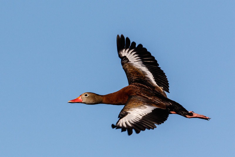 Black Belly Whistling Duck-6638.jpg