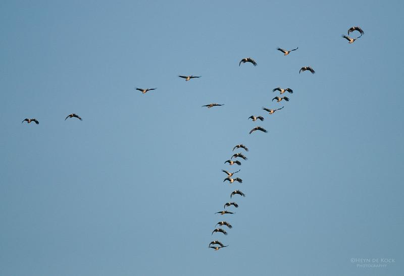 Magpie Geese, Yellow Waters, Kakadu NP, NT, Aus, Oct 2010.jpg