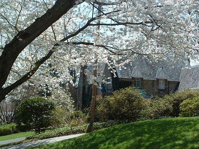 Kenwood Cherry trees April 11, 2005