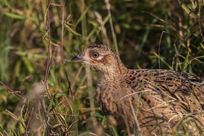 Galliformes - Hønsefugle