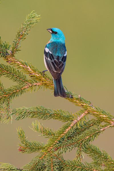 Lazuli Bunting,  Passerina amoena