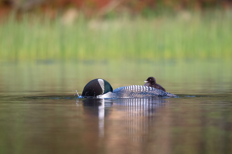 #1690 Common Loon and Chick
