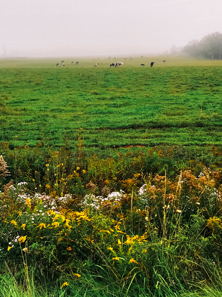 pei cows in fields.jpg