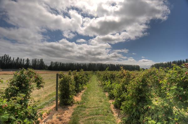 2012 Lavender Fields