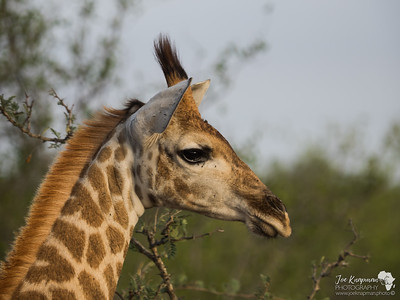 Timbavati , South Africa