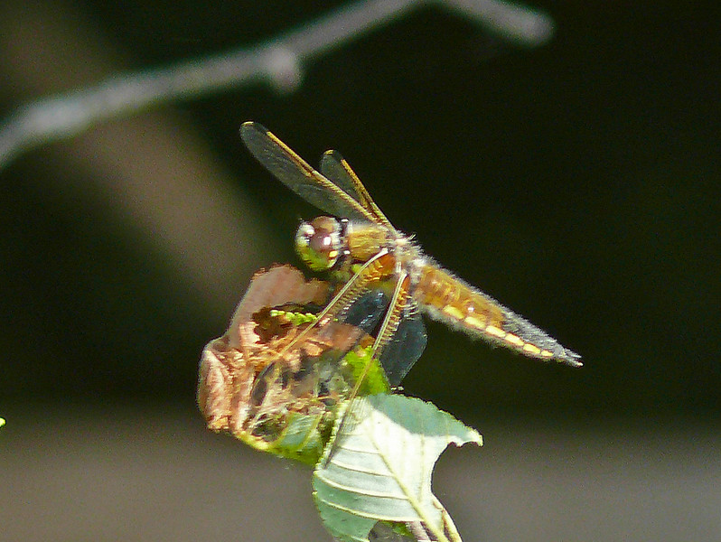 Four-spotted Skimmer (female)