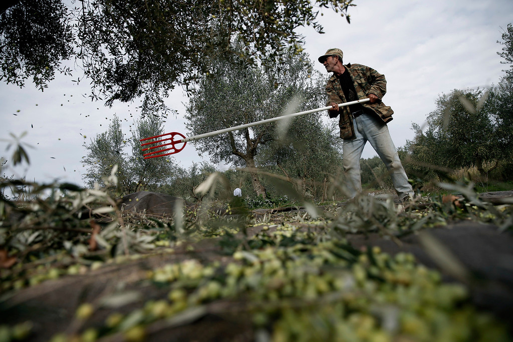 . In this  Friday, Nov. 29, 2013 photo, Nikos Kolovos works on an olive grove in Kalo Pedi village, about 335 kilometers (210 miles) west of Athens. Plans to extend a brutal efficiency drive to olive oil production have been met with anger and disbelief. If proposals from a government funded study are adopted, olive oil blended with cheaper vegetable oils will soon go on sale as part of an effort to modernize Greece\'s economy, which was rescued from near bankruptcy four years ago. (AP Photo/Petros Giannakouris)