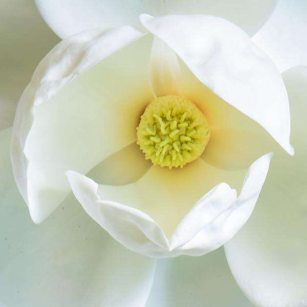 Magnolia 55