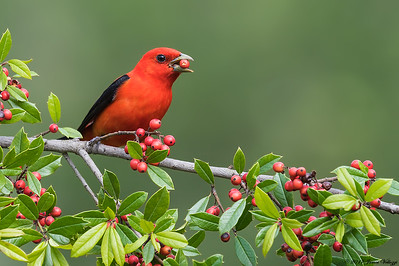 Scarlet Tanager, Piranga rubra
