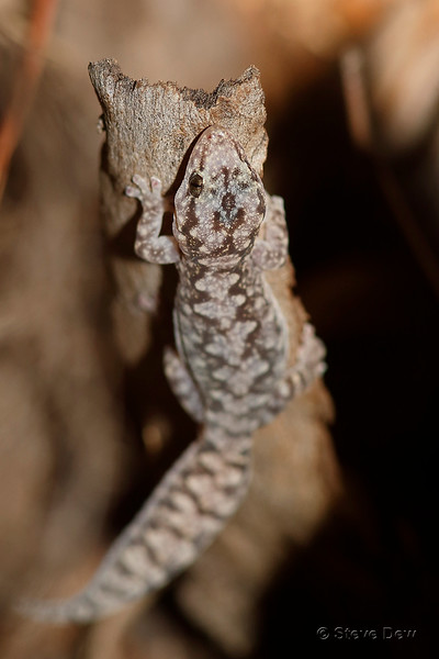 Lesueur's Velvet Gecko