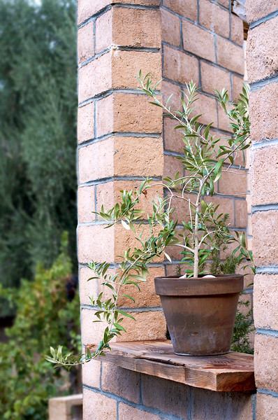 olive tree in a pot