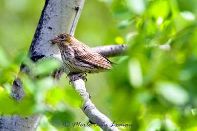Cassin's Finch - Carpodacus cassinii