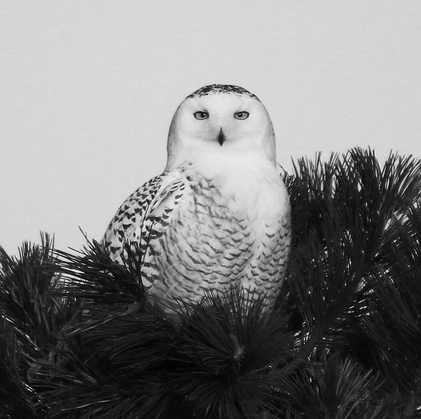 snowy owl black and white.jpg