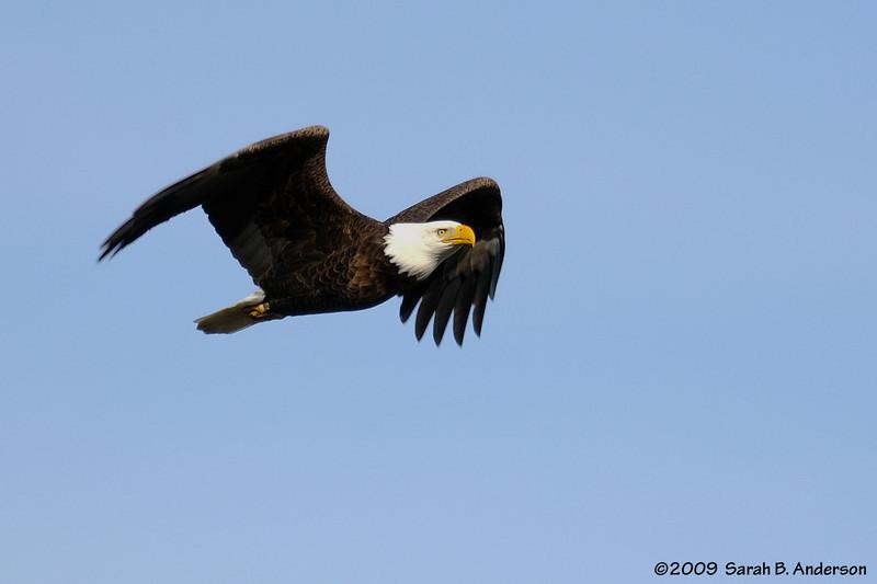 Bald Eagle Potomac River Fairfax County, Virginia  Nikon 300mm 2.8 + Nikon TC17EII