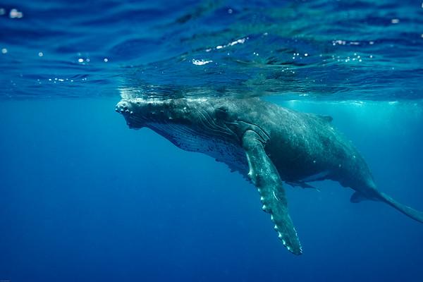 2018.08 Vava'u - Humpback whales