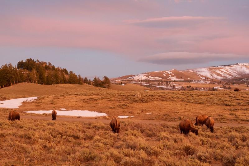 Bison herd sunset Yellowstone National Park WY IMG_5051.jpg
