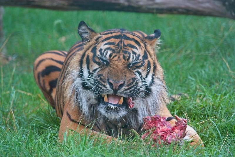 Big Cat Sanctuary (Nias, Sumatran Tiger)