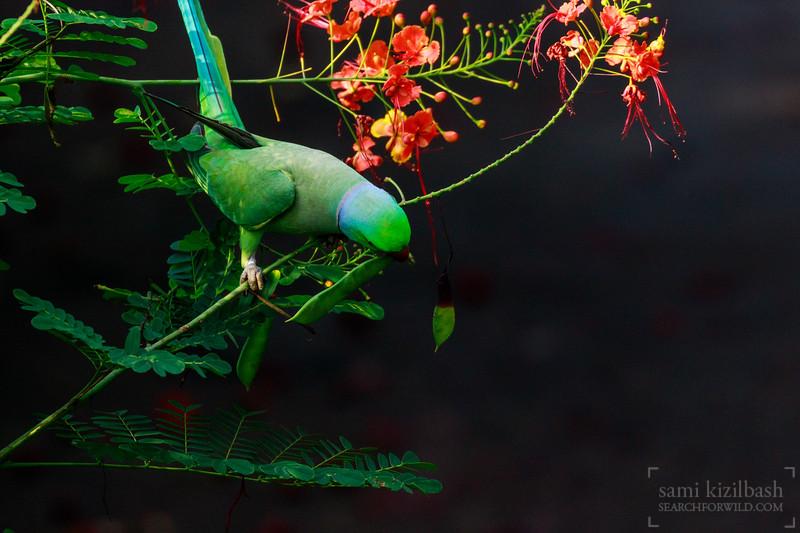 Rose-ringed Parakeet 3.jpg