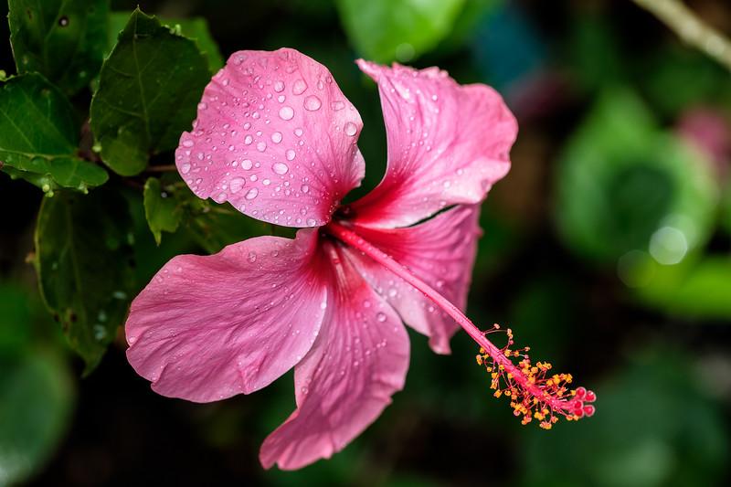 20170722-hawaiian-hibiscus-221544561.jpg