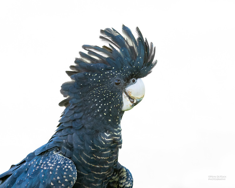 Red-tailed Black Cockatoo, Townsville, QLD, Jan 2020-1.jpg