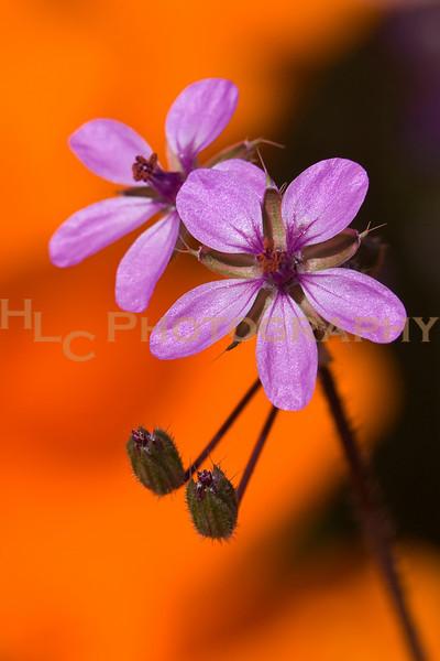 04/18/10 Lancaster, CA - wildflowers