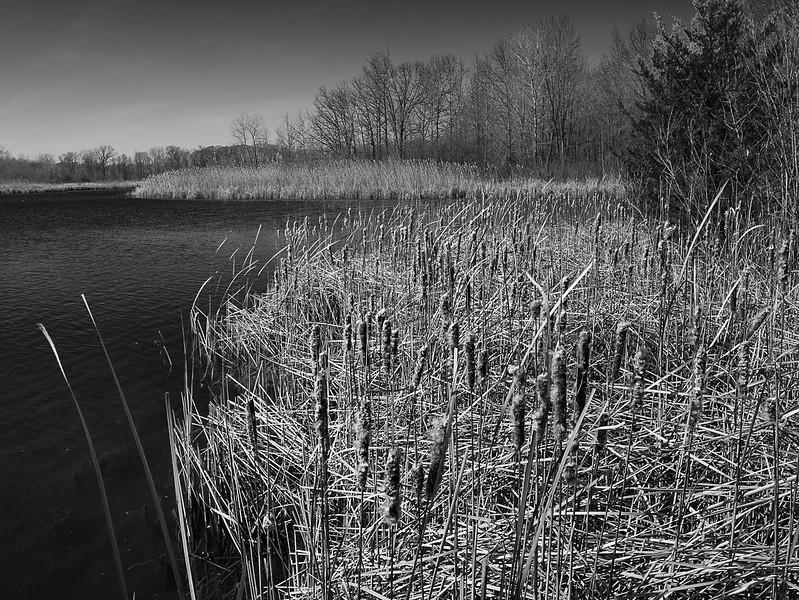 Cattails, Crosswinds Marsh