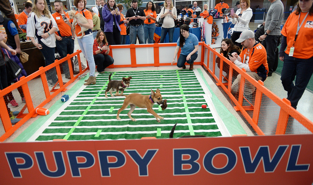 . The Denver International Airport hosted the DEN Puppy Bowl in the Jeppesen Terminal  on Friday, February 05, 2016. They invited puppies from the Denver Dumb Friends League to come down and frolic on a miniature football field set up in the center of the main terminal. The puppies drew employees, travelers and tons of Broncos fans out to see the cuteness.  (Photo by Cyrus McCrimmon/ The Denver Post)