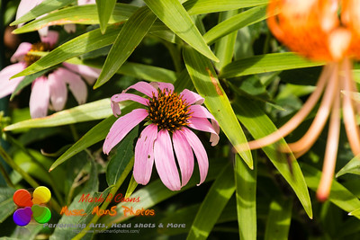 cone flower blossom peaking out from the tiger lilies