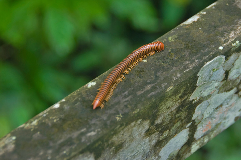 Millipede crawling on Wooden Rail at Mulu National Park - Sarawak, Malaysia