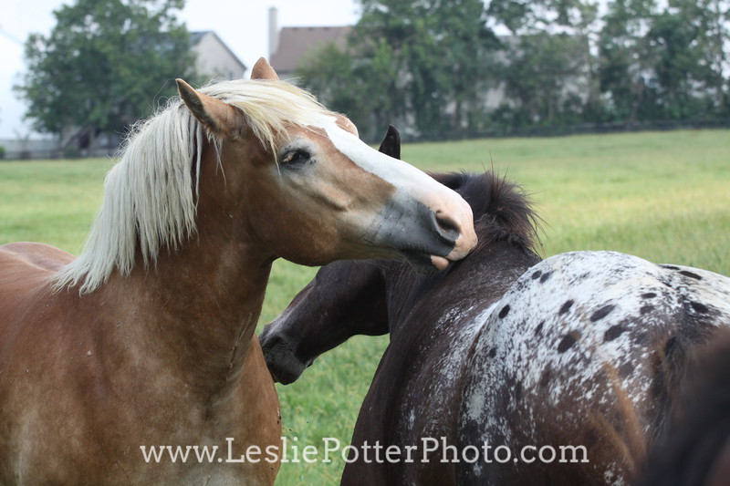 Horses Mutual Grooming